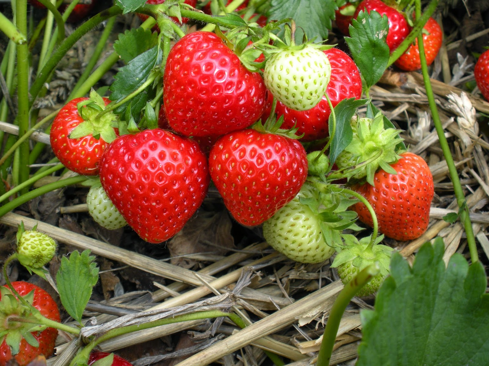3Hr Grow Your Own Organic Strawberries Workshop | Gardens With Purpose